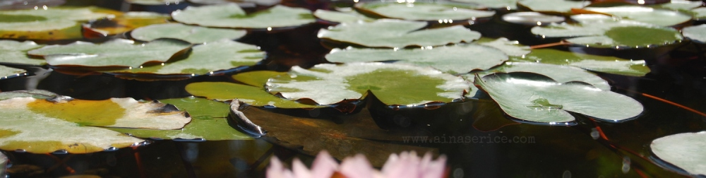 Water lily pond (Nymphaea sp) in late spring