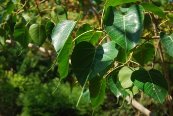 Ficus religiosa leaves