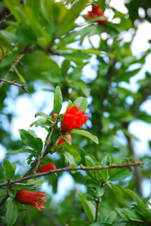Punica granatum, pomegranate flower